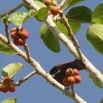 Früchte im Chulavalley/ Hulatal, Israel, KKL-JNF