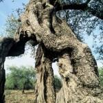Alter Olivenbaum im Chulavalley/ Hulatal, Israel, KKL-JNF